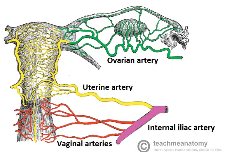 Fig 1.3 - Posterior view of the arterial supply to the female reproductive tract.