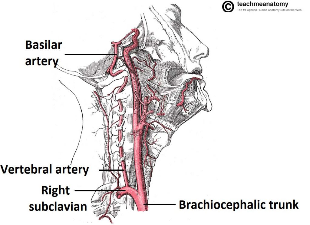Fig 1.5 - Blood supply to the brain via the vertebral arteries