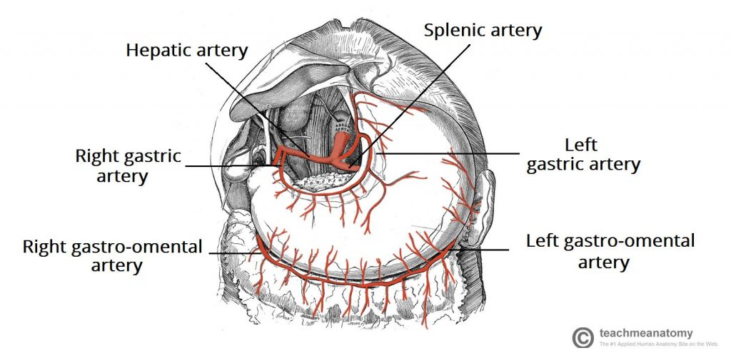 Fig 5 - Arterial supply to the stomach