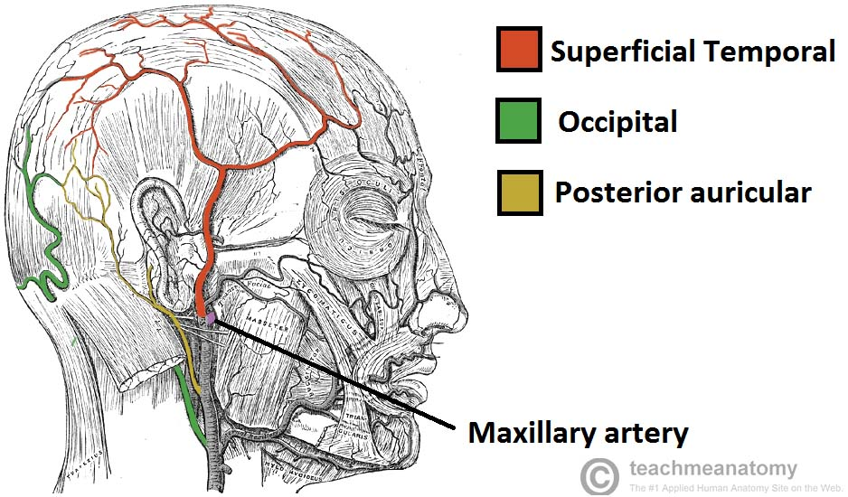 Fig 1.2 - Blood supply to the superficial structures of the face. Note the maxillary artery before it dissapears into the pterygopalatine fossa