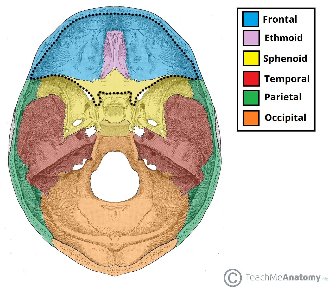Fig 1.0 - The bones of the base of the skull. The anterior cranial fossa has been outlined.