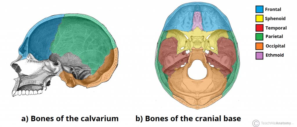 Fig 1 - Bones of the calvarium and cranial base.