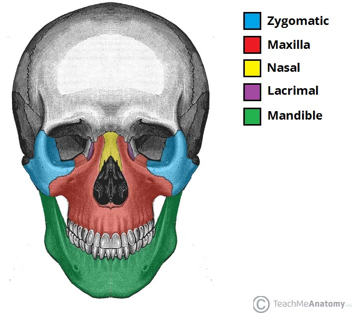 bones of the skull - structure - fractures - teachmeanatomy, Human Body