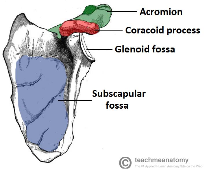 Fig 1.1 - The costal surface of the scapula.