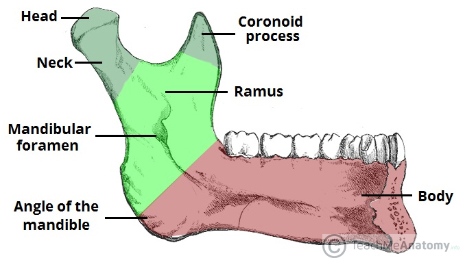 Fig 2 - Internal surface of the mandible and its bony landmarks.