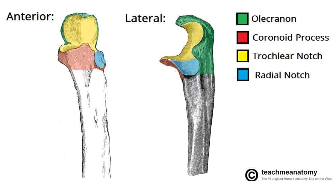 fig 1 1 – the bony landmarks of the proximal ulna