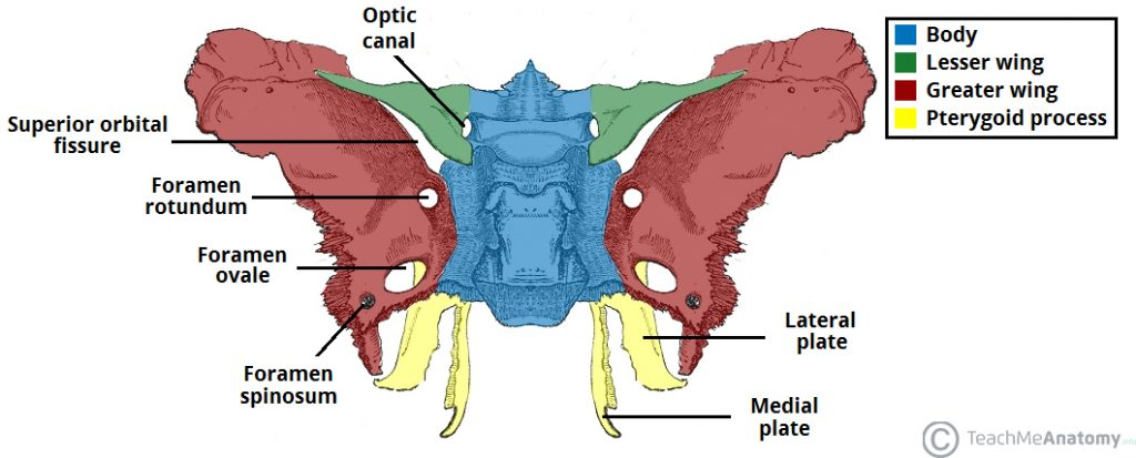 sphenoid bone - location - structure - function - teachmeanatomy, Human body