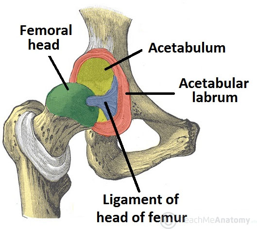 Fig 1 - The articulating surfaces of the hip joint - pelvic acetabulum and head of the femur.