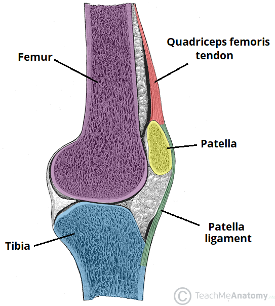 The Knee Joint - Articulations - Movements - Injuries ... Knee Diagram on knee injuries, knee schematic, knee articular cartilage, medial collateral ligament, knee brace patellar tendon strap, knee cap popped out of place, knee bones, knee arthritis symptoms, medial meniscus, knee and leg tendons, sacroiliac joint, knee pain, posterior cruciate ligament, hinge joint, knee patella, knee drawing, knee exercises, anterior cruciate ligament injury, knee high heels, knee biology, knee osteoarthritis, knee flexion and extension, synovial joint, knee bursa, knee model, knee movements, knee arthroscopy, knee structure, knee outline, anterior cruciate ligament,
