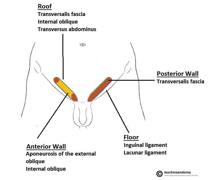 Fig 1.2 - The borders of the inguinal canal. The anterior wall of the left inguinal canal has been removed.