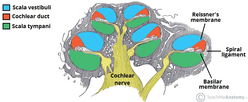 The Inner Ear Bony Labyrinth Membranous Labryinth Teachmeanatomy