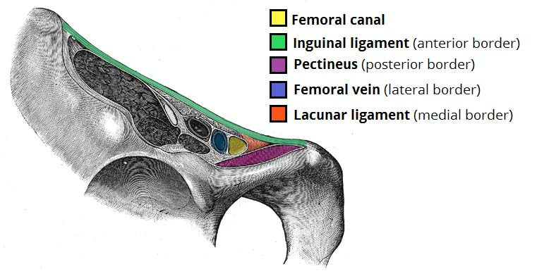 Fig 1.0 - Borders of the femoral canal.