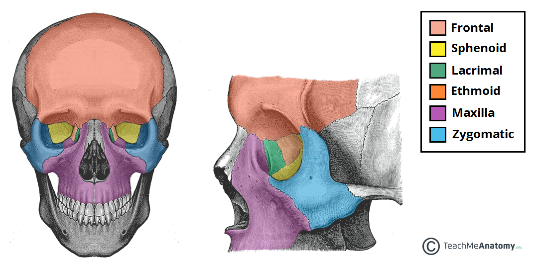 Fig 1.0 - Anterior and lateral views of the bony orbit.