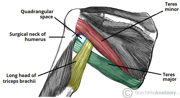 The Axillary Nerve - Course - Motor - Sensory - TeachMeAnatomy