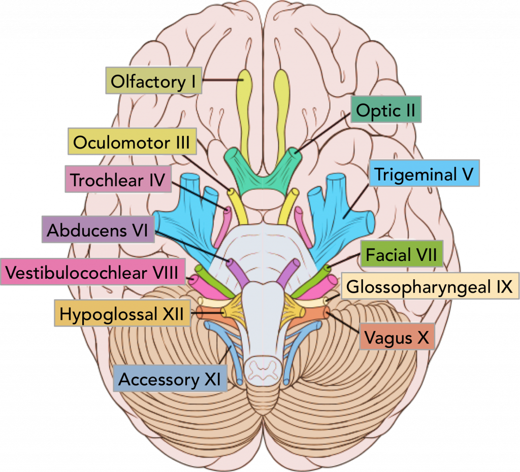 brain and cranial nerves Cranial nerves ------- optic nerve (cn sensory only receptors in the retina ( rods & cones) synapse with bipolar cells, which synapse with ganglion cells.