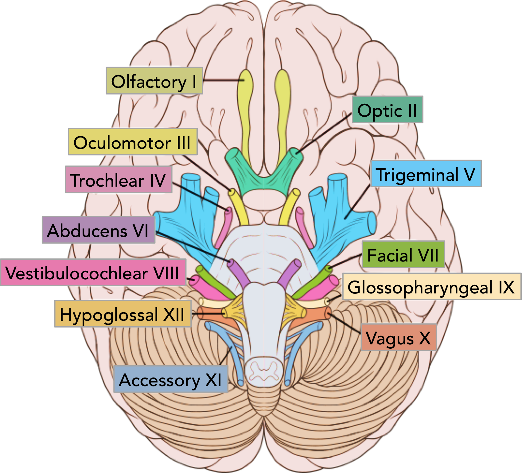 Figure 1 - The location of the cranial nerves on the cerebrum and brainstem.