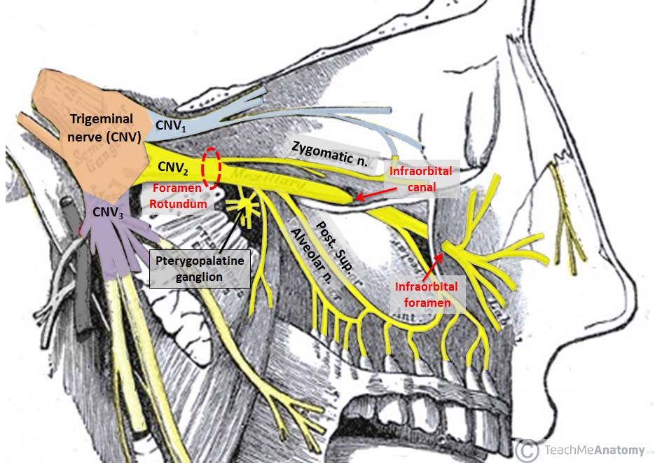the pterygopalatine fossa - contents - openings - teachmeanatomy, Human Body