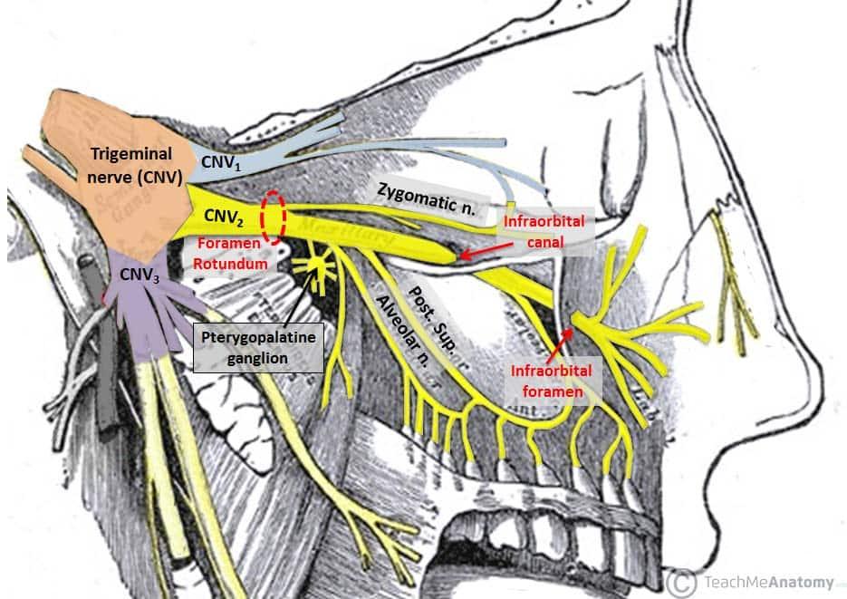 The Pterygopalatine Fossa Contents Openings Teachmeanatomy