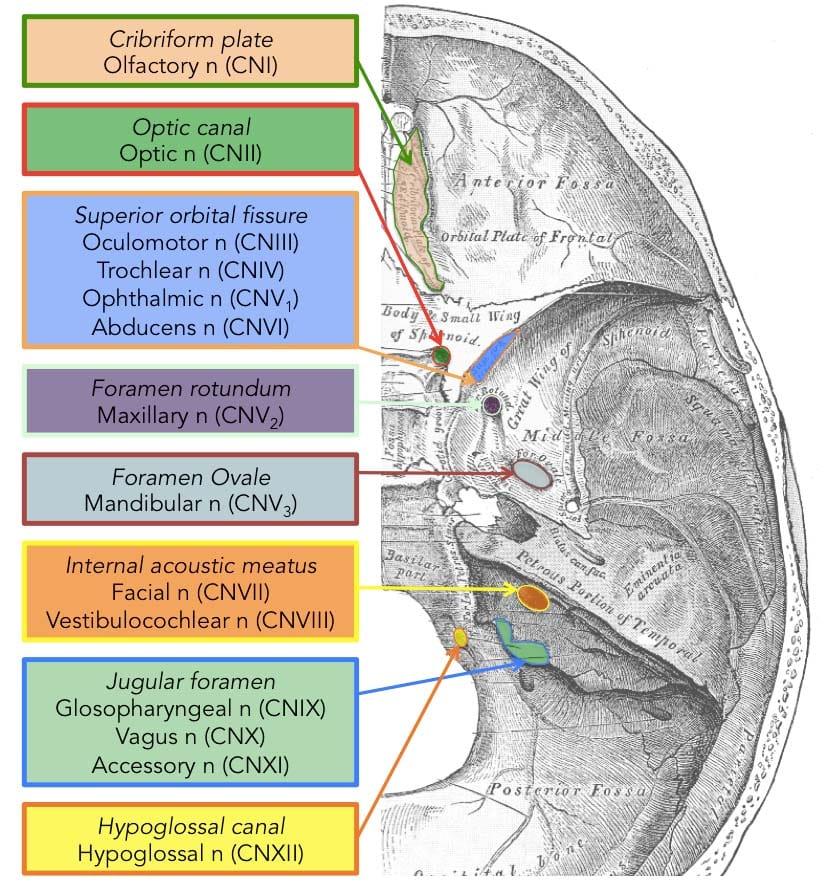 Cranial Foramina - Foramen Ovale - Skull - TeachMeAnatomy