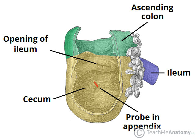 The Small Intestine Duodenum Jejunum Ileum Teachmeanatomy