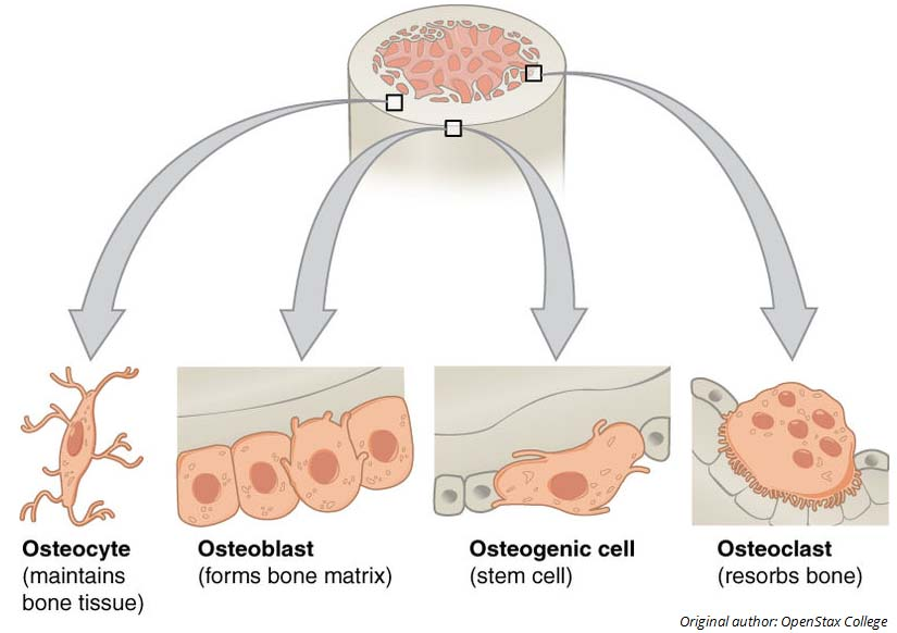 Ultrastructure Of Bone Components Structure Teachmeanatomy