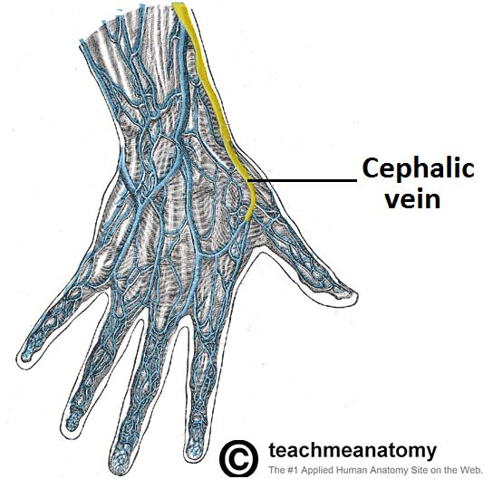 the anatomical snuffbox - borders - contents - teachmeanatomy, Cephalic Vein