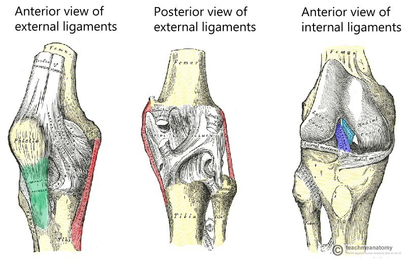 Fig 1.5 - The major ligaments of the knee joint.