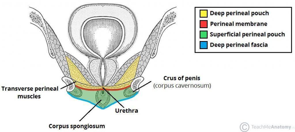 Anal cavity diagram