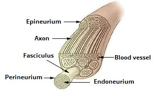 Fig 1.1 - Connective tissue layers of a nerve cell