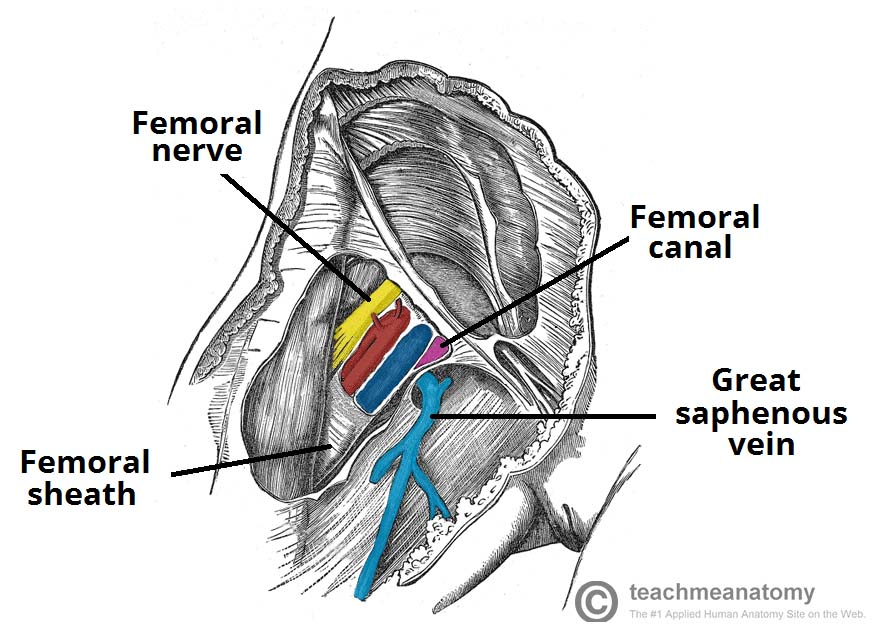 Fig 1.2 - The contents of the femoral triangle.