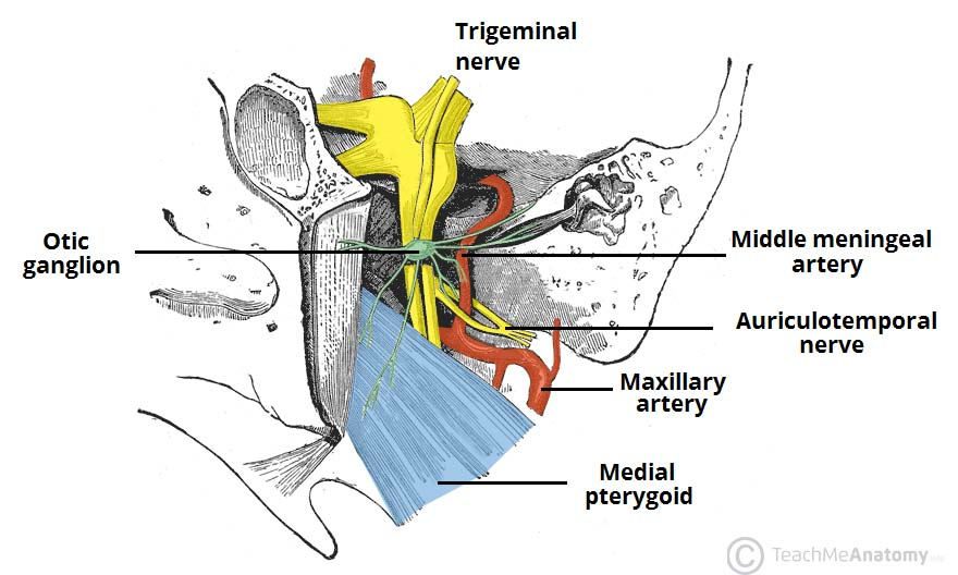 Fig 1.2 - Some of the contents of the infratemporal fossa.