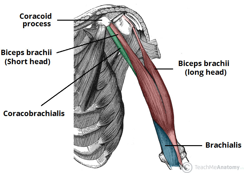 Fig 1 - The coracobrachialis, biceps brachii and brachialis muscles of the anterior upper arm.
