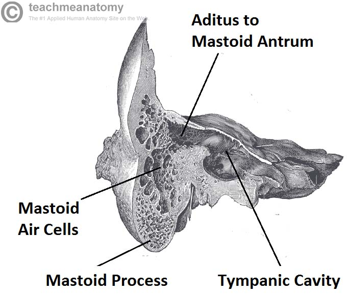 Fig 1.2 - Coronal section of temporal bone, showing the mastoid air cells in more detail