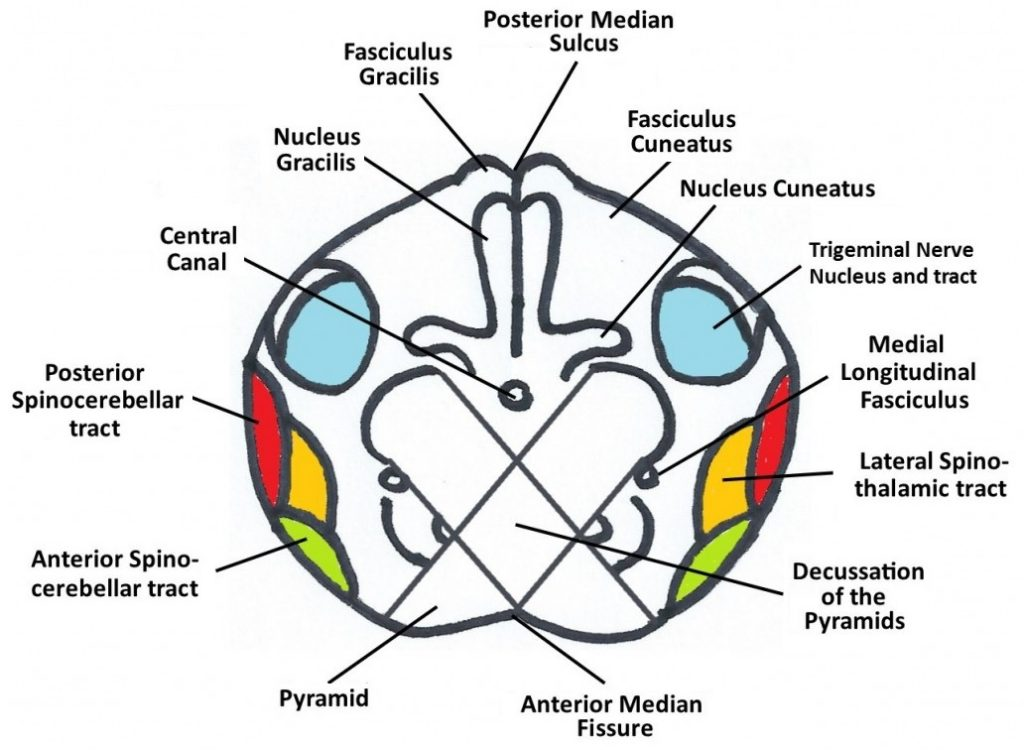 Figure 4: Cross-section of the Medulla at the Level of the Decussation of the Pyramids