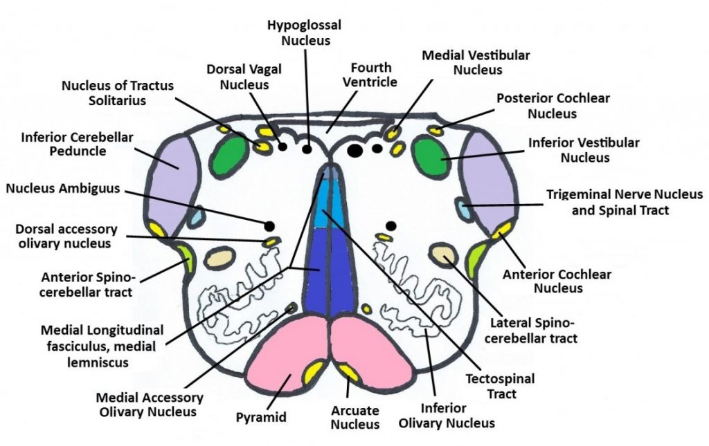 Figure 6: Cross-section of the Medulla at the level of the Olives