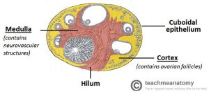 Fig 1.1 - Cross section of an ovary. Shows the three major components of the ovary. Also shows the follicles at various stages of development.