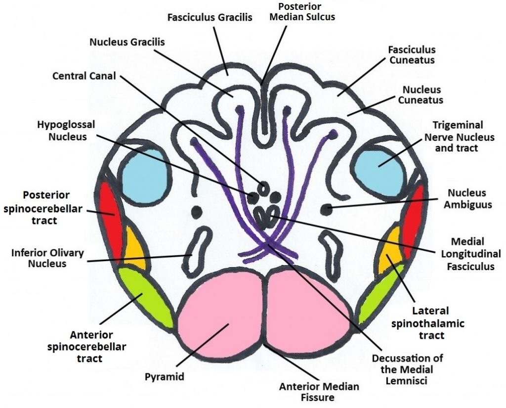 Figure 5: Cross-section of Medulla the the Decussation of the Medial Lemniscus