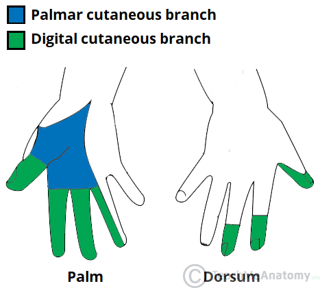 Fig 1.3 - Cutaneous innervation of the branches of the median nerve.