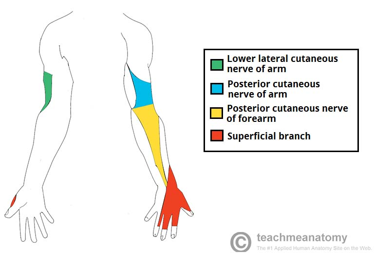 Fig 3 - The cutaneous innervation of the radial nerve.