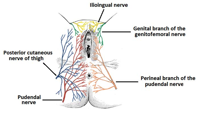 Fig 1.2 - Cutaneous innervation the skin of the vulva and perineum