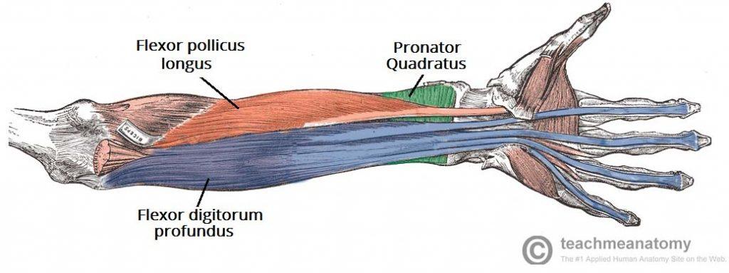 Fig 1.2 - Deep flexor muscles of the anterior forearm.