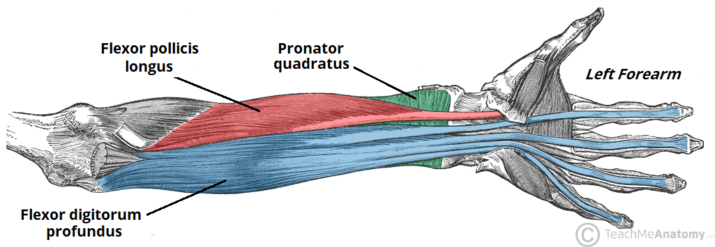 Fig 1.2 - Deep flexor muscles of the anterior forearm.