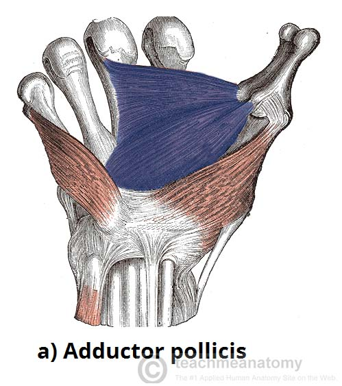 Fig 5 - The adductor pollicis. Note the two heads of the muscle.