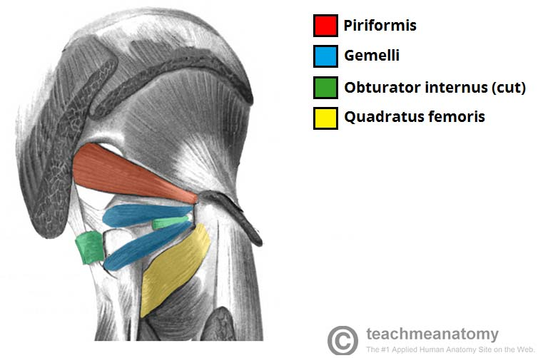 Fig 1.2 - The deep muscles of the gluteal region.