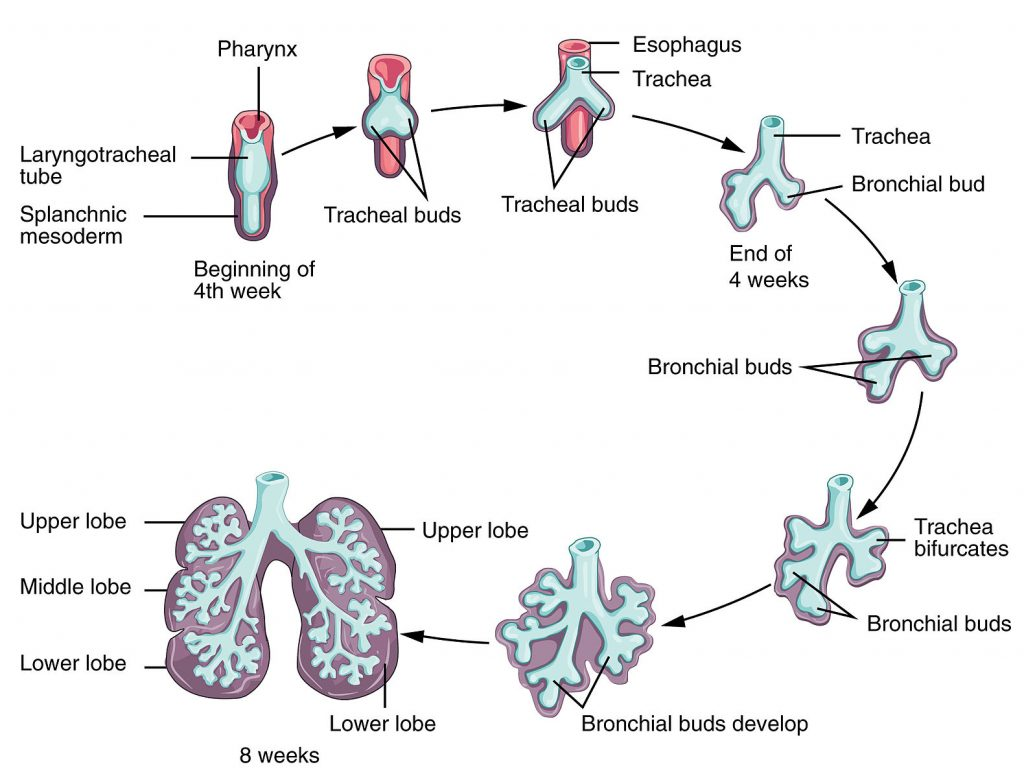 fig 1 – initial development of the lower respiratory tract