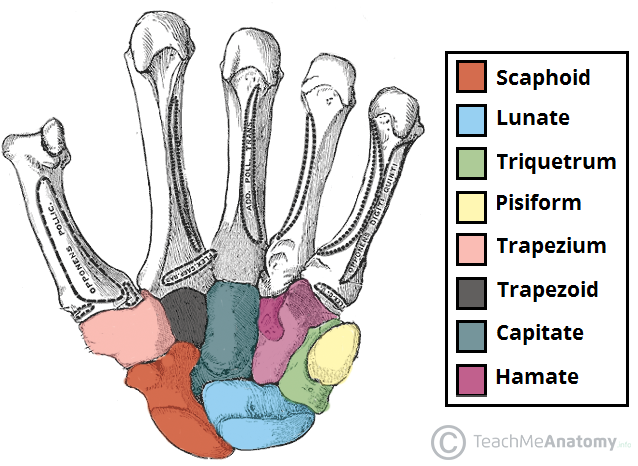 Fig 1.1 - Palmar view of the carpal bones.