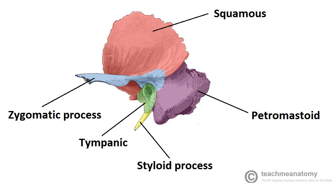 Fig 1.1 - The constituent parts of the temporal bone.