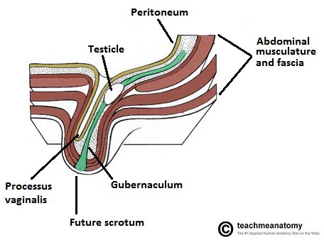 Fig 2 - The descent and embryological development of the testes. Note that the processus vaginalis regresses after the descent of the testes