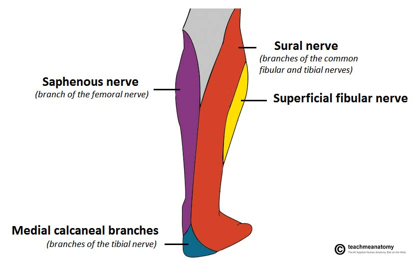 the tibial nerve course motor sensory teachmeanatomy Sacral Nerves Diagram fig 1 1 \u2013 cutaneous innervation to the posterior leg tibial nerve contributes via the sural nerve and calcaneal branches