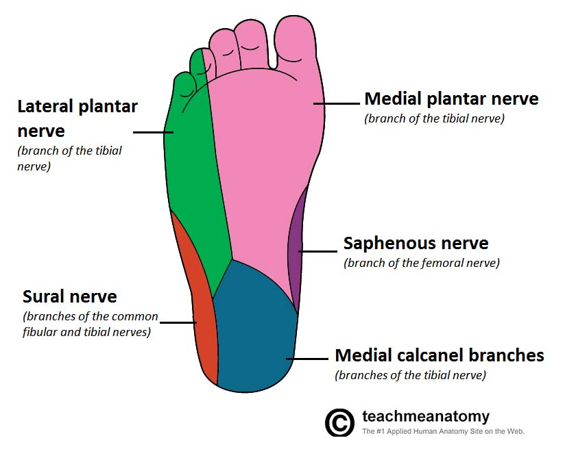 Fig 1.2 - Cutaneous innervation to the sole of the foot.